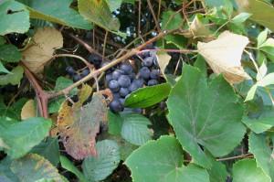 Wild grapes!