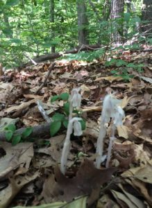 In grade school, we were taught to call these indian pipes.