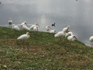 Ibises, who also cannot read.